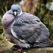 "Google ""Pigeon"""